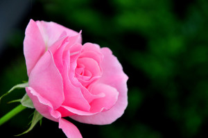 Skin Care Diaries: What are the benefits of rose water?